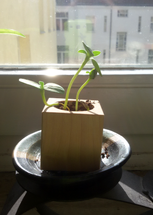 Jungpflanze